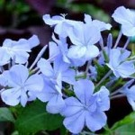 plumbago-auriculata-flores[1]2